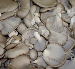 Pleurote-gris-cultive
